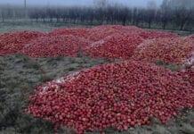 wyrzucone jabłka