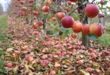 jablka przemysłowe