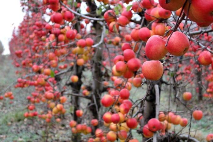 jabłka przemysłowe