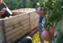 jabłka w serbii