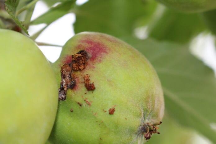owocowka jabłkóweczka