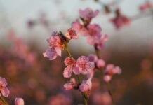 sady brzoskwiniowe