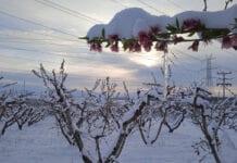 Śnieg przykrył kwitnące sady w Grecji, mróz uszkodził kwiaty