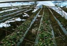 zniszczone tunele z truskawkami