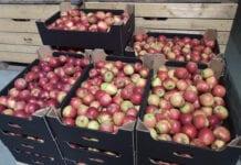 drobne jabłka