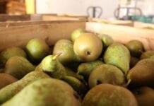 Belgowie chcą wycofać z rynku najmniejsze gruszki