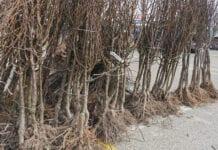 Grójec: Aktualne ceny drzewek gruszy