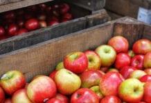 jabłka na przemysł