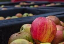 jabłka przemysł