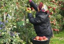 polskie odmiany jabłoni