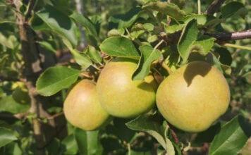 polskie jablka
