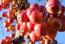 jabłka na drzewach w nowej zelandii