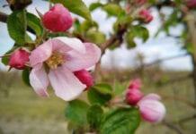 Jabłonie w Południowym Tyrolu zakwitną 7-9 dni wcześniej niż zazwyczaj