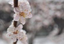 Śnieg i mróz martwi serbskich sadowników