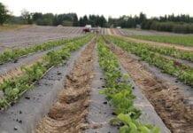 Zakładamy nową plantację truskawek! Od czego zacząć?