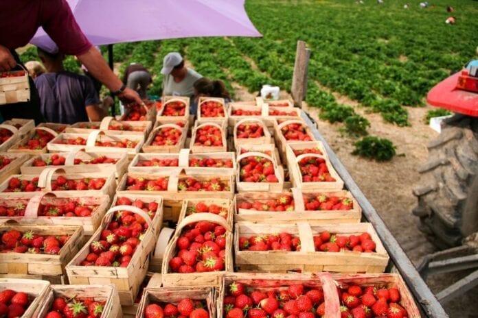 pracownicy na plantacjach truskawek
