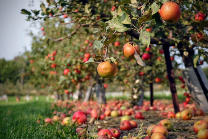 jabłka na ziemi