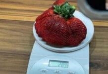 rekordowa truskawka