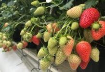 """""""Zakładamy nową plantację truskawek! Od czego zacząć?"""" [Video]"""