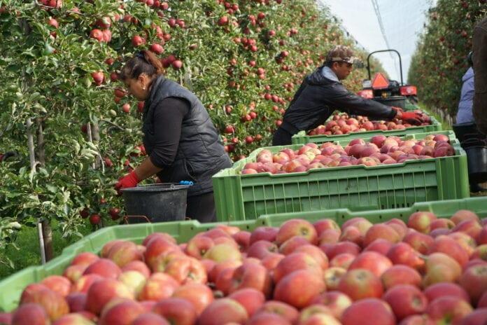 zbiory jabłek w sadzie