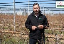 Bieżące zalecenia w uprawie borówki – komunikat jagodowy Agrosimex, 29.04.2021