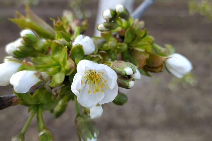 kwiaty Burlat