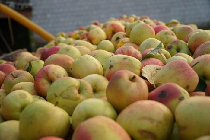 jabłka przemyslowe