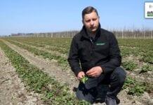 Tomasz Domański - Agrosimex - komunikat jagodowy - ochrona truskawek