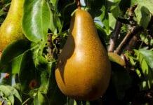 gruszka na drzewie