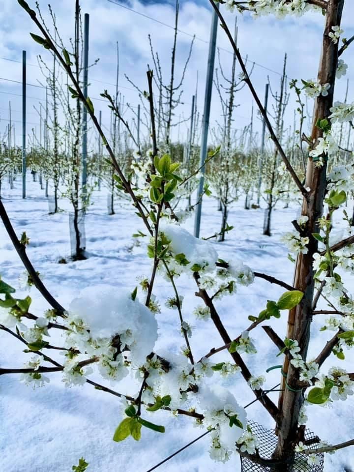 śliwy w śniegu
