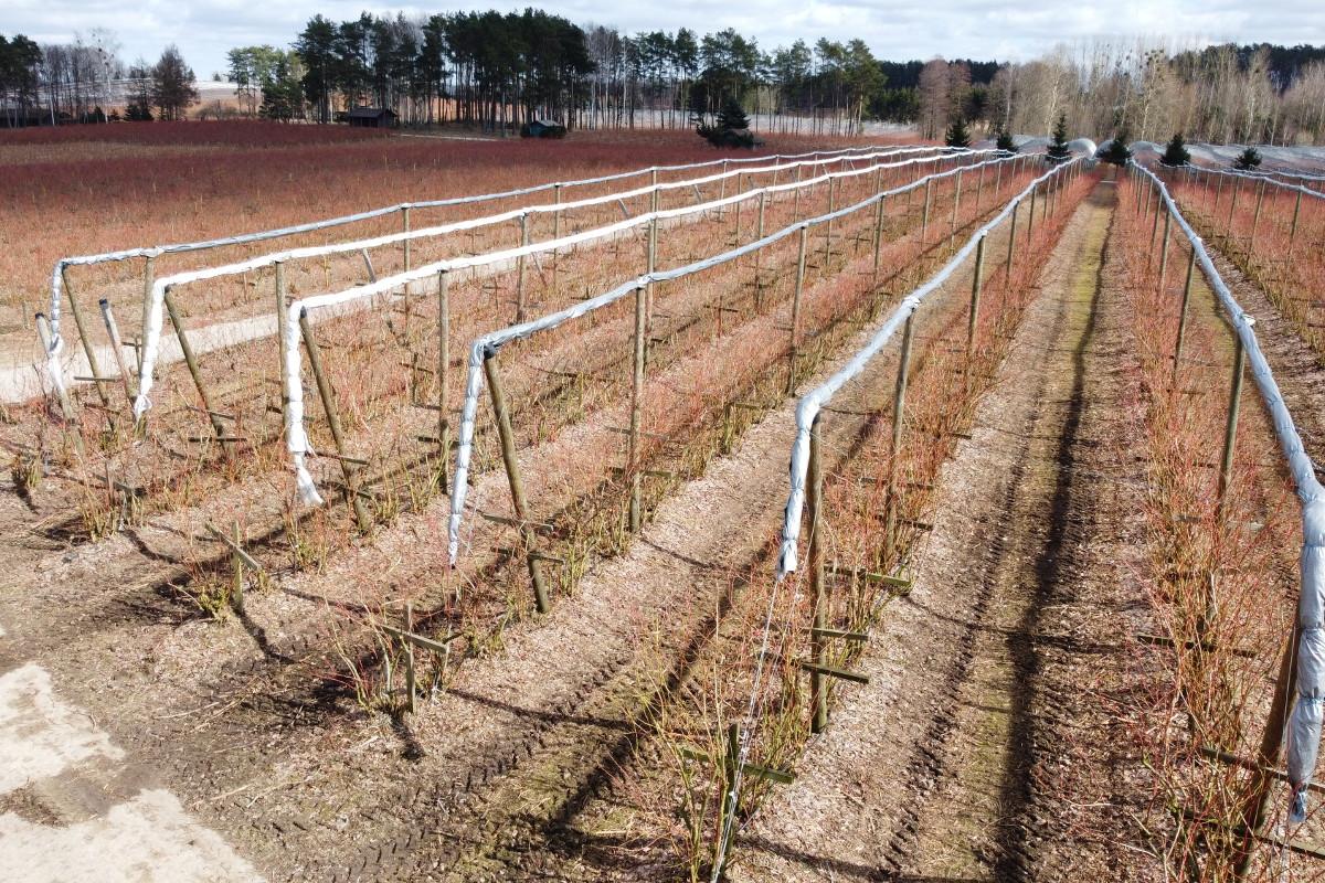 plantacja przeciwprzymrozkowa
