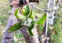 Tkanki zielonej przybywa. Konieczne kontynuowanie ochrony przed parchem