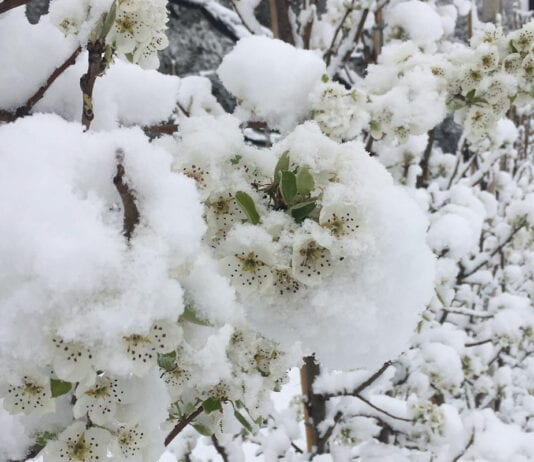 Śnieg przykrył kwitnące sady w Słowenii. Zdjęcia z sadu