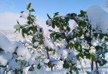 maliny pod śniegiem
