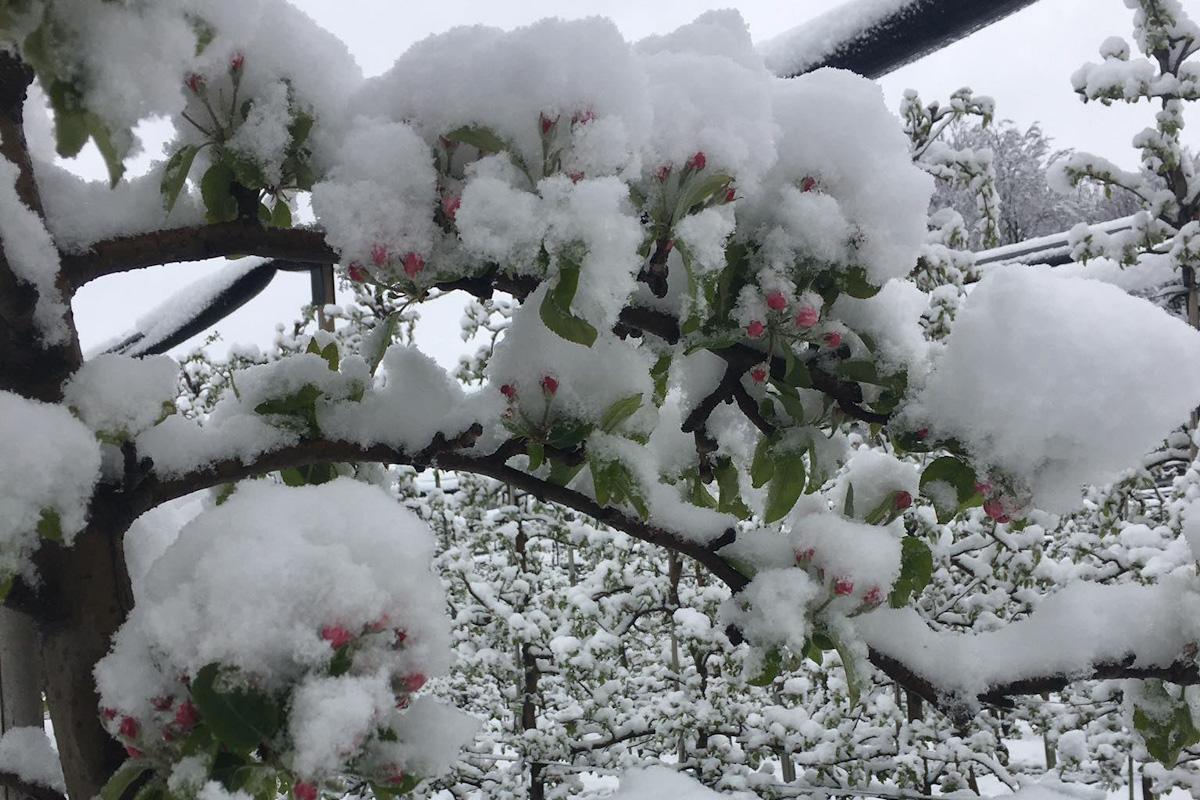 pąki w śniegu