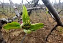 szkodniki jabłoni