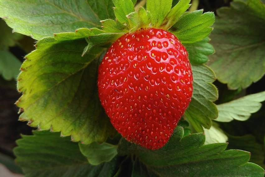 owoc truskawki
