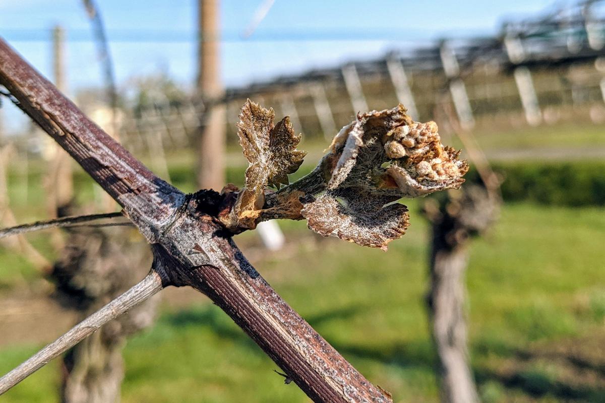 pęd winorośli