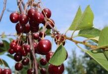 Uprawa wiśni – jakie wyzwania stoją przed producentami?