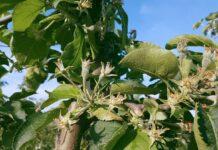 Koniec kwitnienia jabłoni