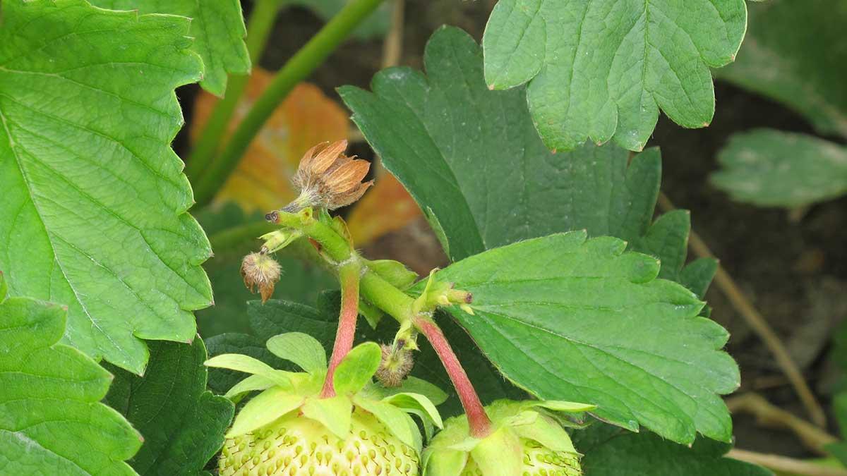 Kwieciak malinowiec – uszkodzone pąki, fot. B. Łabanowska
