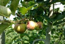 Skuteczna ochrona przed owocówką jabłkóweczką i zwójkówkami liściowymi