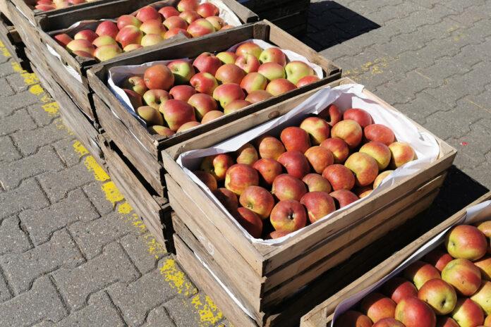 jabłka na Broniszach
