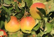 Najdroższe jabłko w Niemczech? Elstar z… Chile