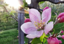 kwiat jabłoni