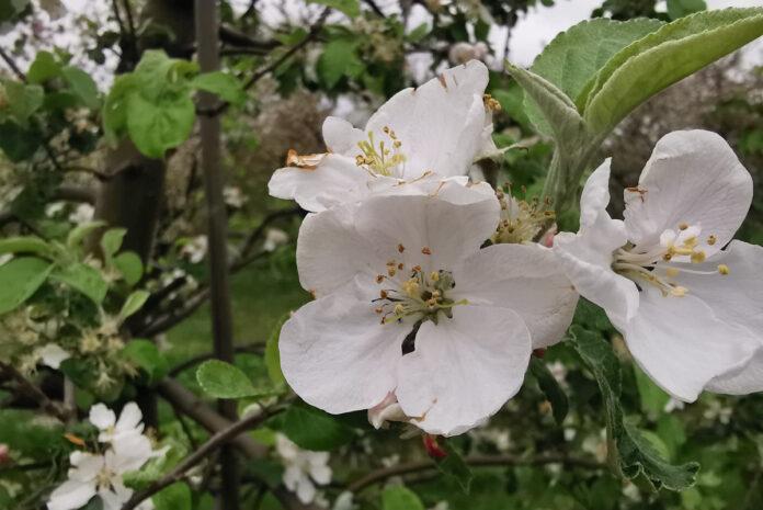 kwiat malinówki