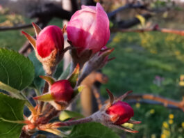 kwiat Szampion