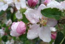 Ochrona przed szarą pleśnią w okresie kwitnienia jabłoni