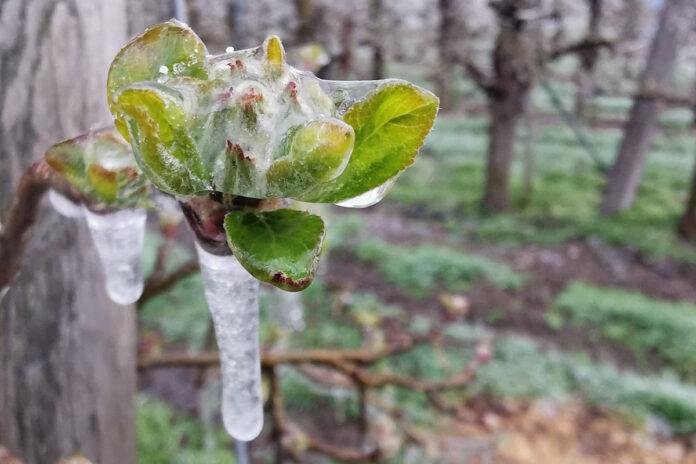 kwiat w lodzie