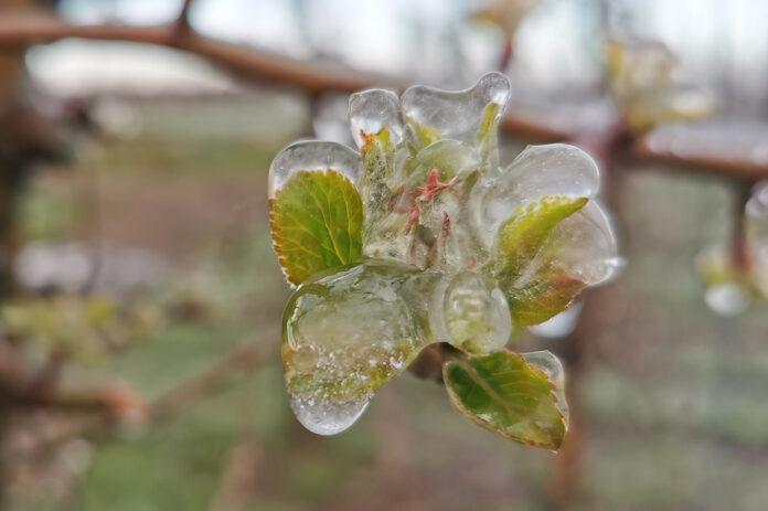 pąk w lodzie